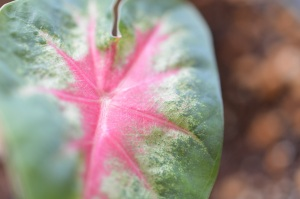 Color in the Caladium
